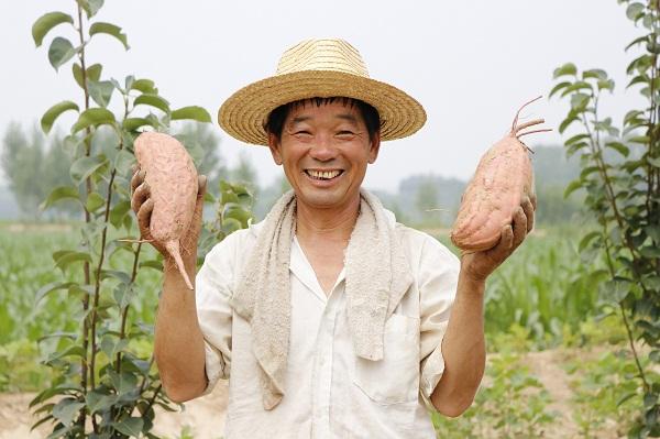 丰收啦!黄河镇西张村红薯喜获丰收,亩产5000斤,丰收8000元