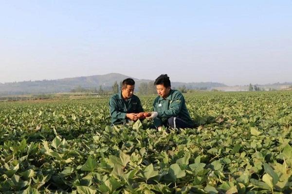 """新中国成立70周年农业成就——小红薯""""勇闯""""大市场"""